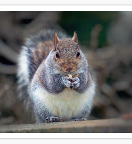 Eastern tree squirrel eating peanuts Sticker
