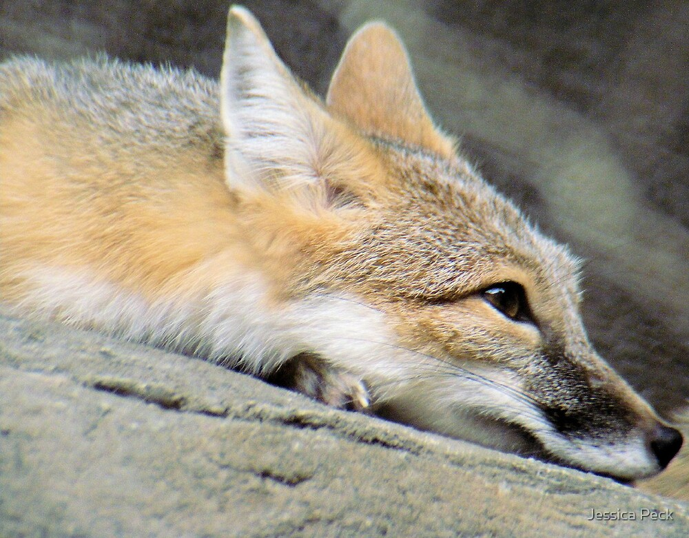 Swift Fox by Jessica Peck