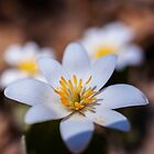 Bloodroot by Jason  Crespin