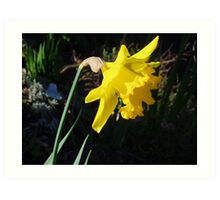 Daffodil in Macro Art Print