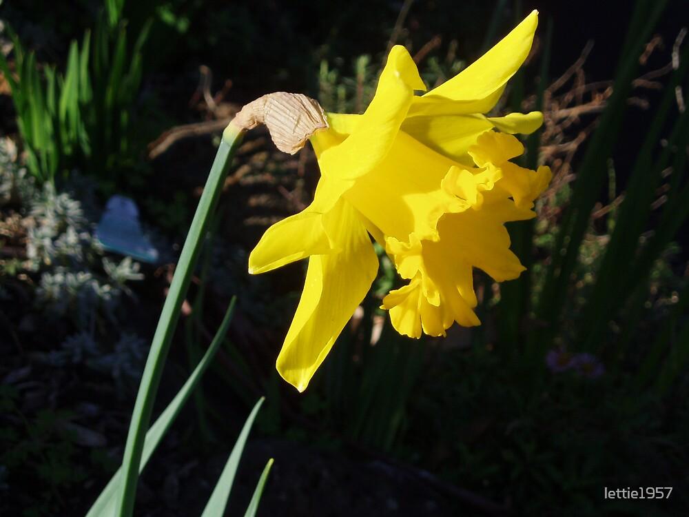 Daffodil in Macro by lettie1957