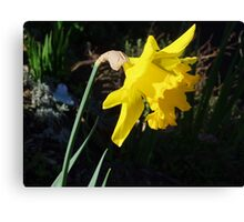 Daffodil in Macro Canvas Print