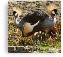 Grey Crowned Crane of Africa 2014 Canvas Print