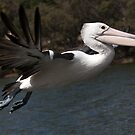 Pelican in Flight by mncphotography