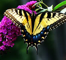 #140 Tiger Swallowtail On Butterfly Bush by MyInnereyeMike