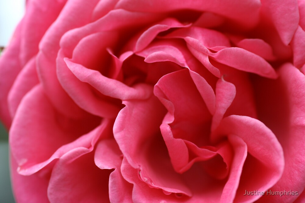 Pink rose by Justine Humphries