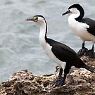 Pied Cormorant by mncphotography