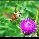 Hummingbird Clearwing Moth 01 by Darrell Sharpe