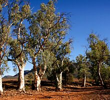 Gum trees in Outback Australia by jwwallace