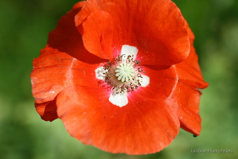 Red Poppy by Justine Humphries