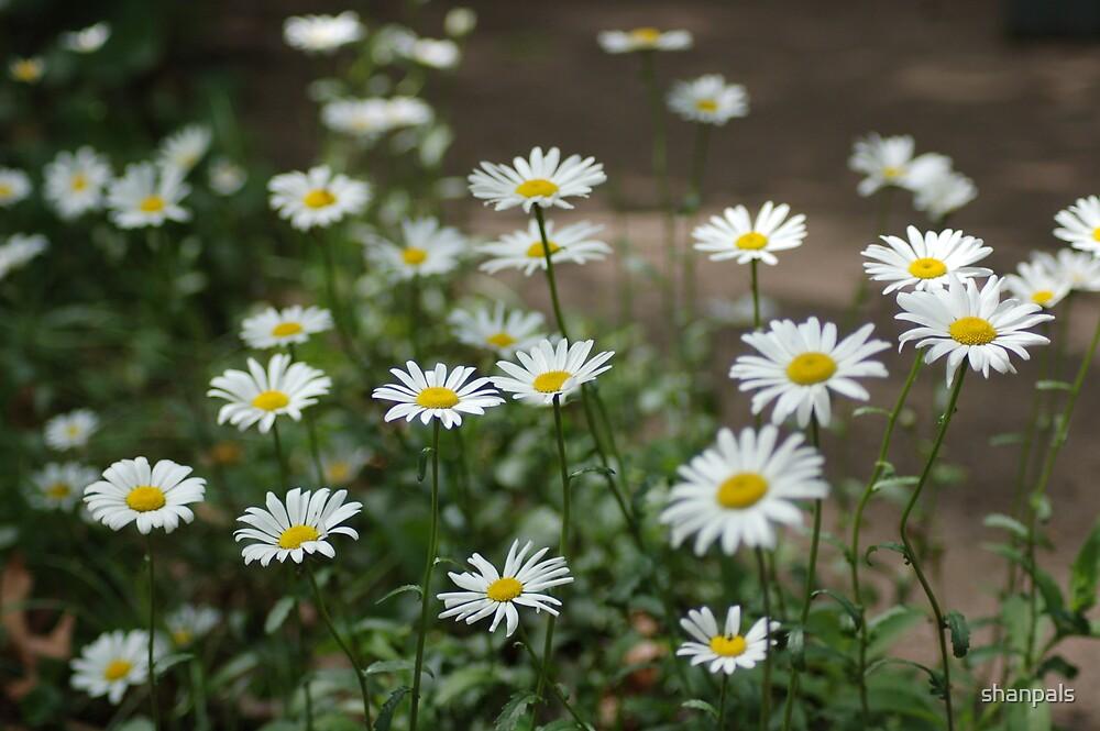 Field of Daisy's  by shanpals