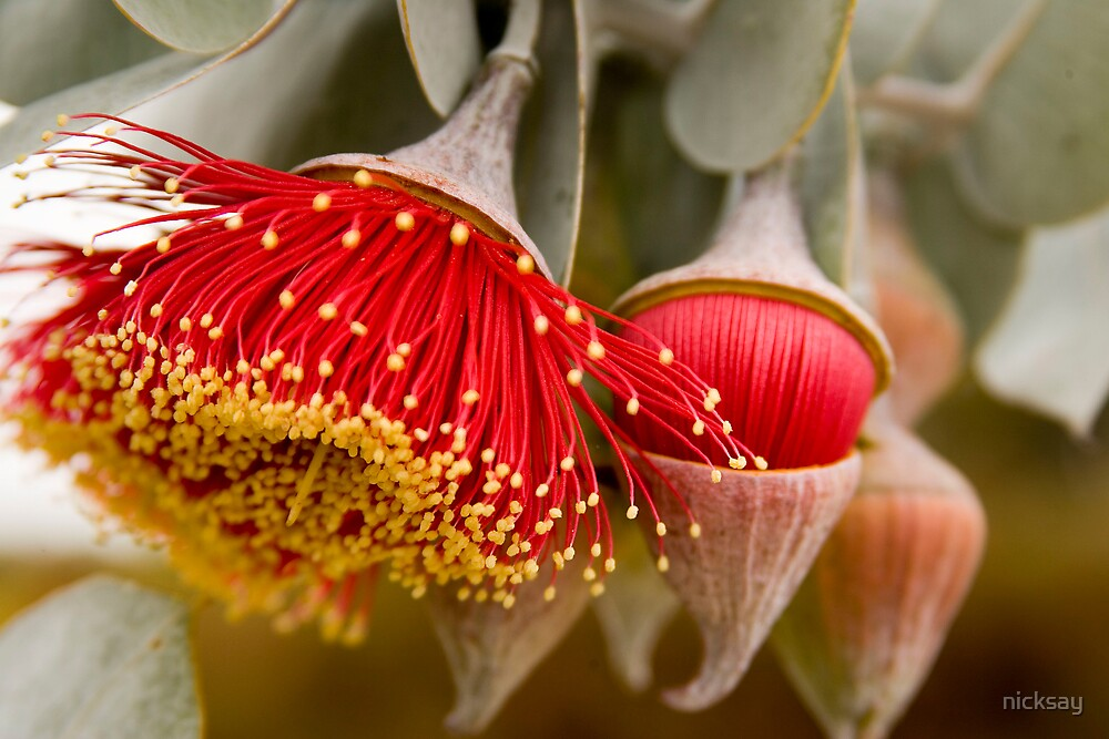 Australian Gum Flower by nicksay