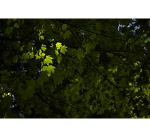 Spring Leaves Photographic Print