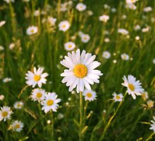 Daisies by Luke Winter