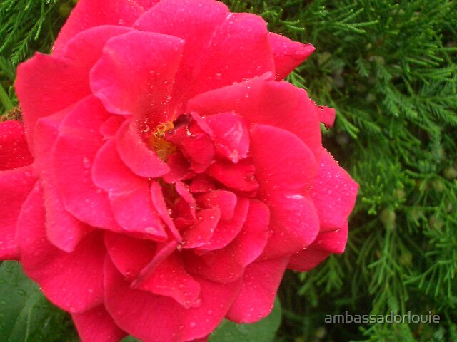 red rose by ambassadorlouie