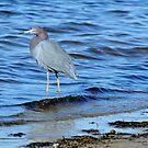 Little Blue Heron by levipie
