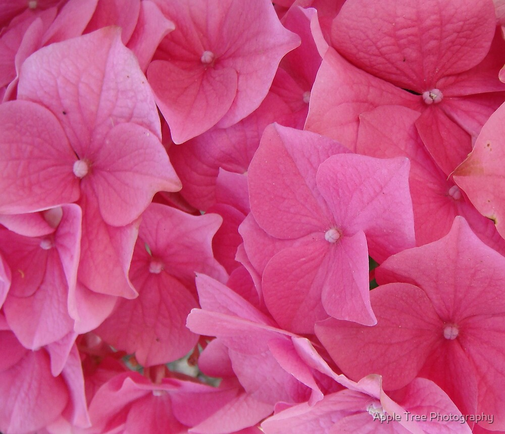 Hydrangea - Close up by Apple Tree Photography