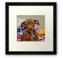 Pit Bull Mix Puppy  Framed Print