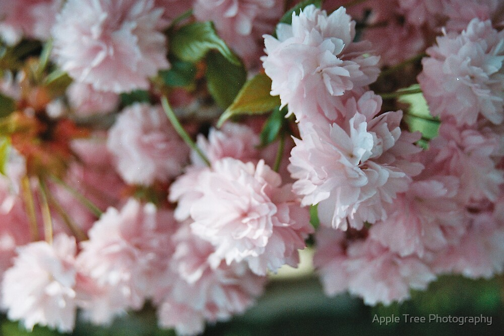Cherry Blossom by Apple Tree Photography
