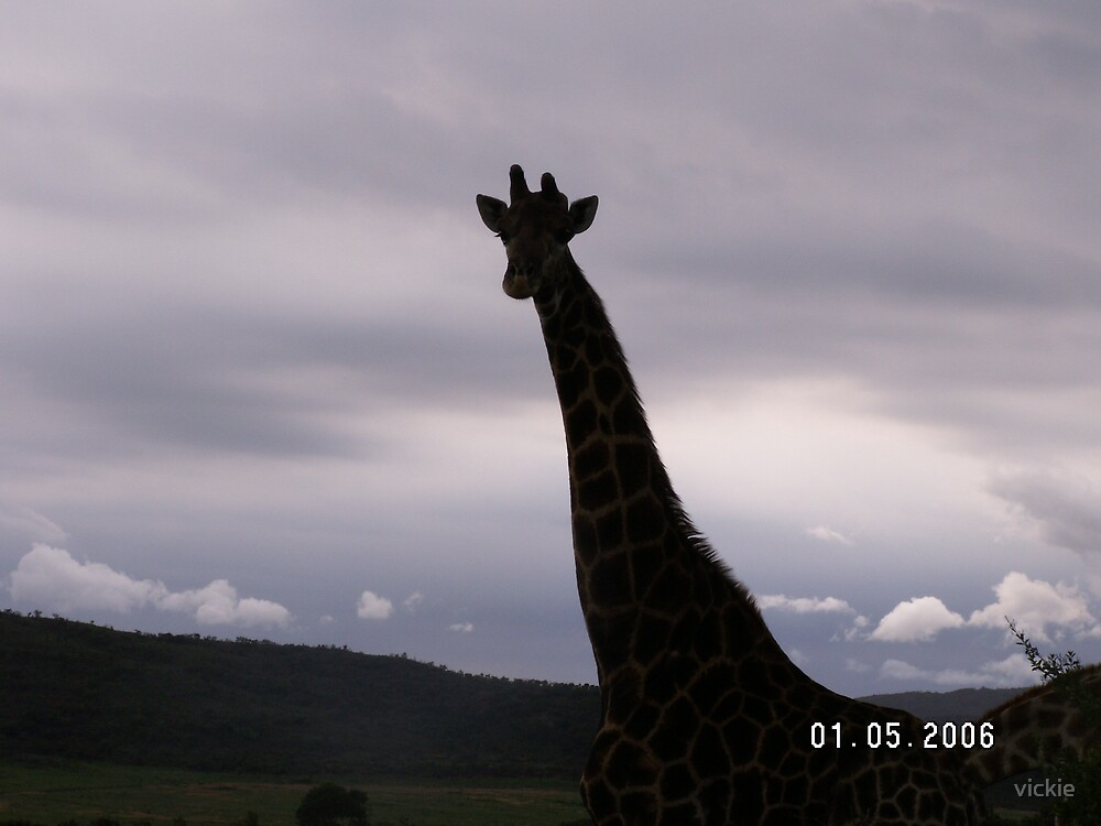 giraffe in the dusk... by vickie
