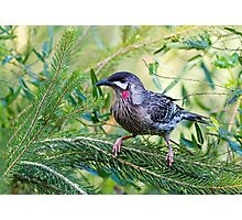 Red Wattle Bird 2 Photographic Print