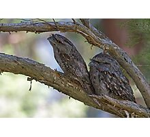 Camouflage- A Pair of Tawny Frogmouth Owls Photographic Print