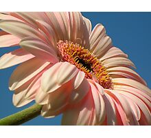 Peach Gerbera On Blue Sky Photographic Print