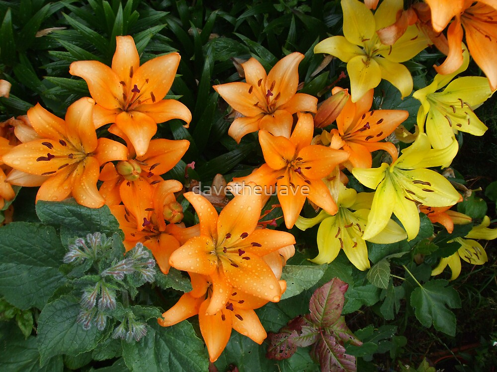 Yellow & Orange Lilies in my garden. by davethewave