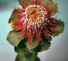 Banksia by lawrencew