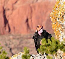 Grand Canyon California Condor by levipie