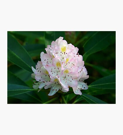 Great Rhododendron Photographic Print