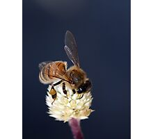 Honey Bee on flower Photographic Print