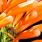 Honey Bee on flame vine by Lesley Smitheringale