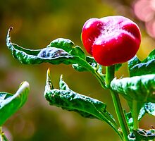 Chilli Pepper by Pravine Chester