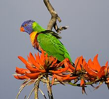 "Rainbow Lorikeet in a Erythrina ""flame"" tree by Martin Pot"