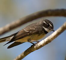 Grey Fantail by Steven Holmes