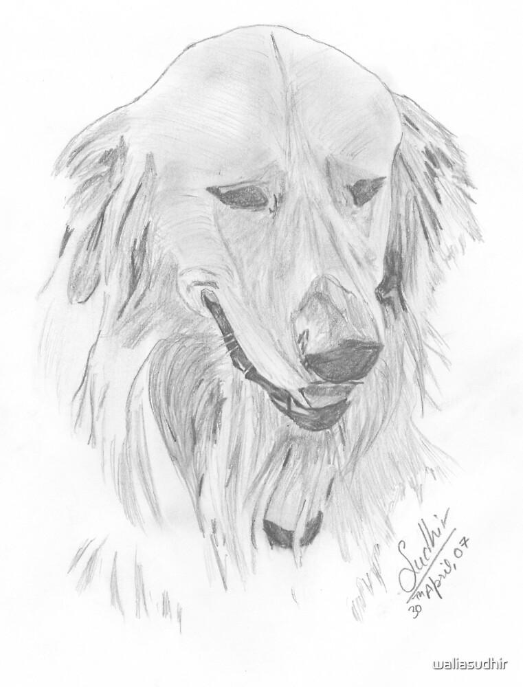 Pencil sketch golden retriever by waliasudhir