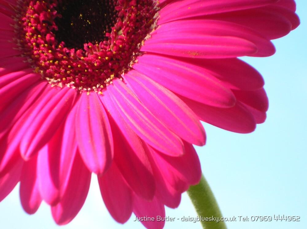 Pink Qtr Gerbera On Blue Sky by Justine Butler - daisybluesky.co.uk Tel: 07969 444962