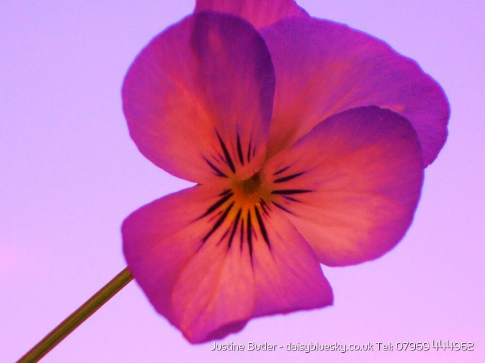 Dusky Pink Pansy on Pink Sky by Justine Butler - daisybluesky.co.uk Tel: 07969 444962