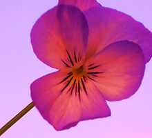 Dusky Pink Pansy on Pink Sky by Justine Butler - daisybluesky.co.uk Tel: 07969 444962