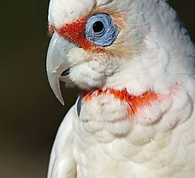 Corella by mncphotography