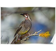 Red Wattle Bird Poster