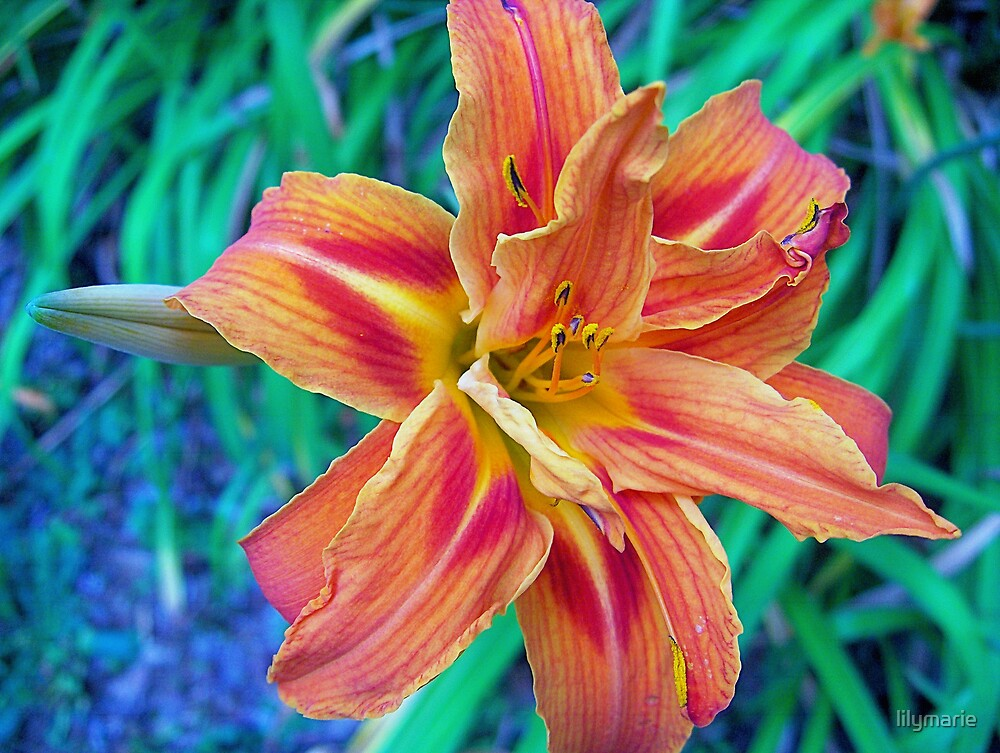 an orange lily by lilymarie