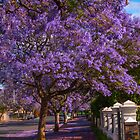 Jacaranda time by indiafrank