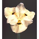 """'Dietes' from the series """"Inner Bloom"""" by Paul Cotelli"""