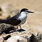 Bridled Tern  by mncphotography