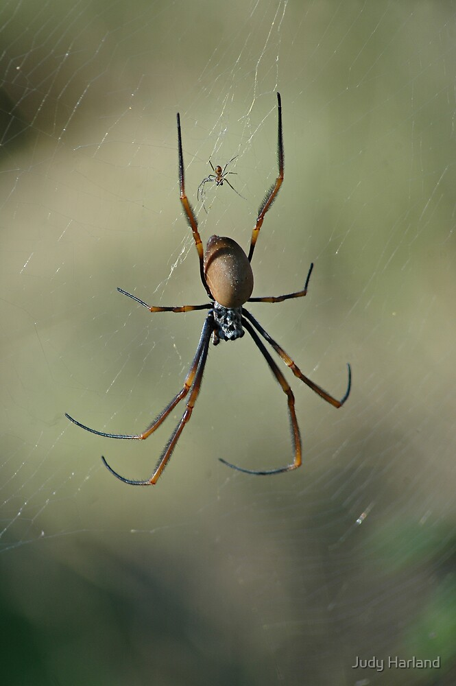 Golden Orb Web Spider by J Harland