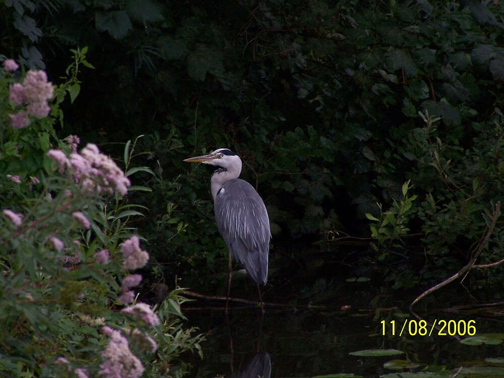 norfolk heron by hodgie