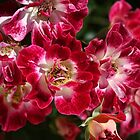 Rose Cluster by Joy Watson