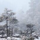 16.2.2017: Pine Trees in Winter's Fog by Petri Volanen